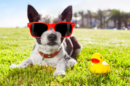 black terrier  dog  relaxing and resting , lying on grass or meadow at city park on summer vacation holidays, with  yellow rubber duck as best friend