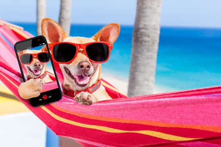 chihuahua dog relaxing on a fancy red  hammock taking a selfie and sharing the fun with friends, on summer vacation holidays