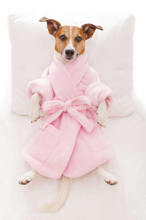 jack russell dog relaxing and lying, in spa wellness center ,wearing a pink bathrobe