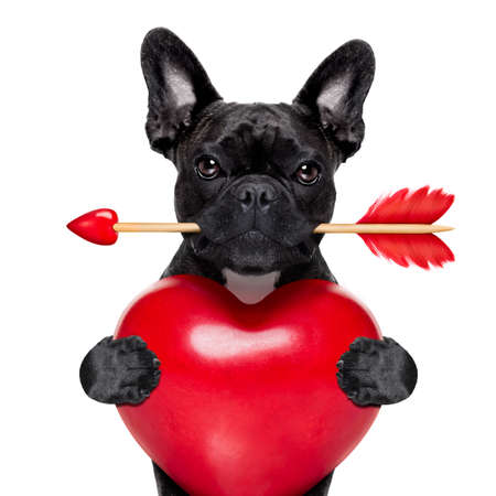 valentines french bulldog dog in love holding a cupids arrow with mouth and holding a big heart, isolated on white background