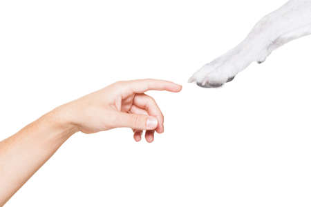 Photo for jack russell dog paw very close to touch owners finger and hand , isolated on white background - Royalty Free Image