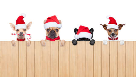 row and group of santa claus dogs, for christmas holidays, behind a wall, banner or placard, wearing a red hat  , isolated on white background