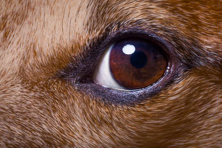 jack russell dog close up of the eyes, with iris and pupil as macro shoot, fur and hair visible