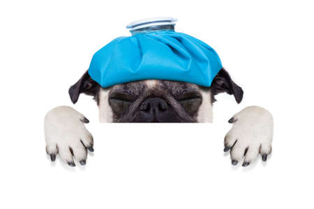pug  dog  with  headache and hangover with ice bag or ice pack on head,  suffering and crying ,behind banner or placard,  isolated on white background