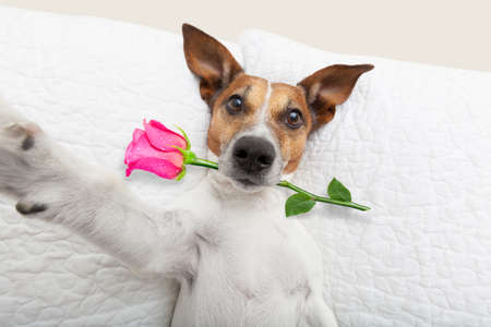 Photo for jack russell  dog looking and staring at you   ,while lying on bed with valentines rose in mouth, taking a selfie , in love - Royalty Free Image