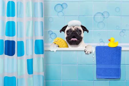 Photo pour pug dog in a bathtub not so amused about that , with yellow plastic duck and towel, behind shower curtain - image libre de droit