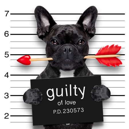 Foto de valentines bulldog  dog with rose in mouth as a mugshot guilty for love - Imagen libre de derechos