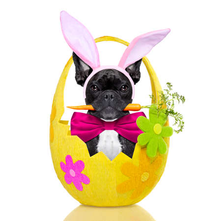 Photo for french bulldog dog with  carrot in mouth and easter bunny ears ,inside an easter holiday decorated egg, isolated on white background - Royalty Free Image