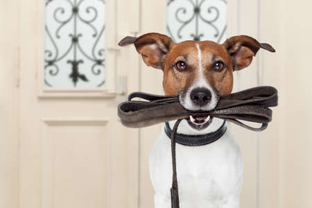 Foto de jack russell dog  waiting a the door at home with leather leash in mouth , ready to go for a walk with his owner - Imagen libre de derechos