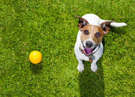 Foto de happy jack russell terrier dog  in park or meadow waiting and looking up to owner to play and have fun together, ball on grass - Imagen libre de derechos