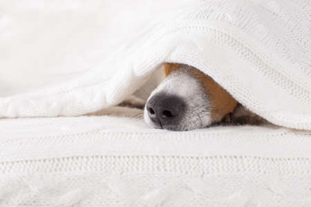 Photo for jack russell dog  sleeping under the blanket in bed the  bedroom, ill ,sick or tired, sheet covering its head - Royalty Free Image