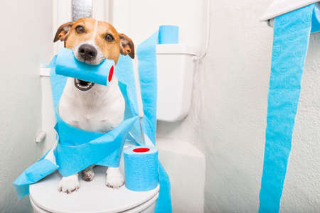 Foto de jack russell terrier, sitting on a toilet seat with digestion problems or constipation looking very sad and toilet paper rolls everywhere one  roll in mouth - Imagen libre de derechos