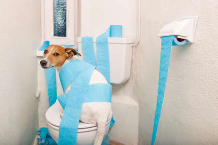 Foto de jack russell terrier, sitting on a toilet seat with digestion problems or constipation looking very sad and toilet paper rolls everywhere - Imagen libre de derechos