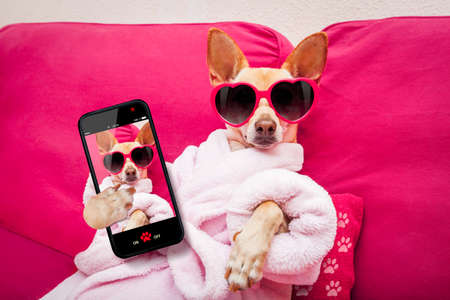 Photo pour chihuahua dog relaxing  and lying, in   spa wellness center ,wearing a  bathrobe and funny sunglasses taking a selfie - image libre de droit