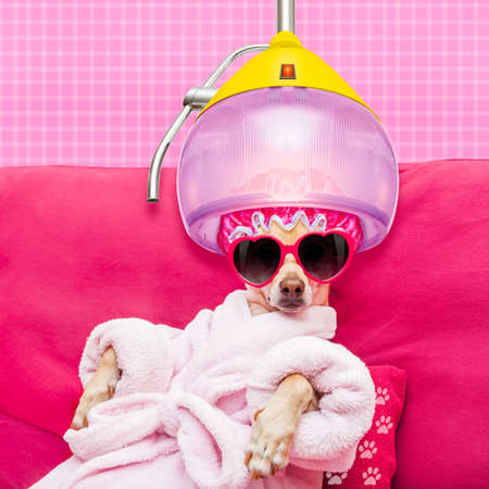 Photo for chihuahua dog relaxing  and lying, in   spa wellness center ,wearing a  bathrobe and funny sunglasses under drying hood - Royalty Free Image