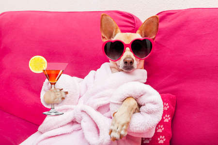chihuahua dog relaxing  and lying, in   spa wellness center ,wearing a  bathrobe and funny sunglasses, drinking a martini cocktail