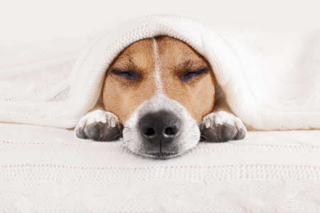 Photo for jack russell dog  sleeping under the blanket in bed the  bedroom,   ill ,sick or tired, sheet covering most of the face, eyes closed - Royalty Free Image