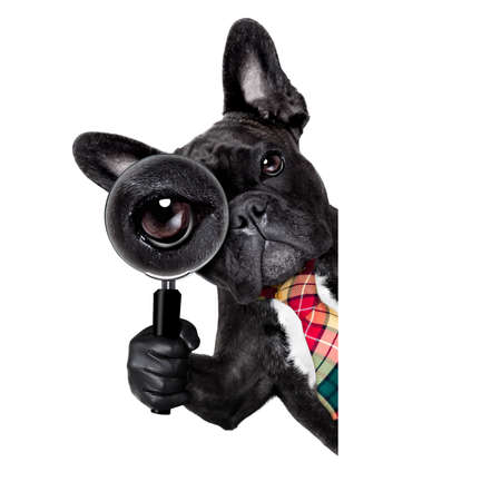 Foto de french bulldog  dog searching and finding as a spy with magnifying glass , isolated on white background, behind banner placard blackboard - Imagen libre de derechos