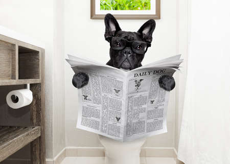 Foto de french bulldog dog , sitting on a toilet seat with digestion problems or constipation reading the gossip magazine or newspaper - Imagen libre de derechos