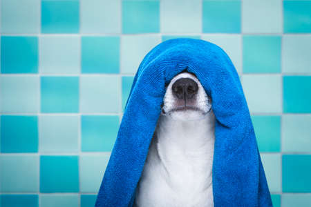 jack russell dog in a bathtub not so amused about that , with blue towel, having a spa or wellness treatment