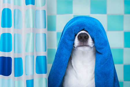 jack russell dog in a bathtub not so amused about that , with blue towel, behind shower curtain, having a spa or wellness treatment
