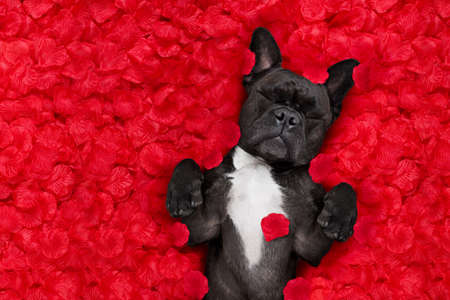 Foto de french bulldog dog lying in bed full of red rose flower petals as background  , in love on valentines day and sleeping - Imagen libre de derechos