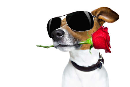 Photo for Jack russell dog in love on valentines day, rose in mouth, with sunglasses and cool gesture, isolated on white background - Royalty Free Image