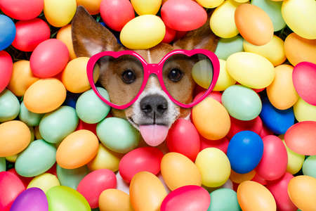 Foto de funny jack russell easter bunny  dog with eggs around on grass as background, sticking out tongue with sunglasses - Imagen libre de derechos