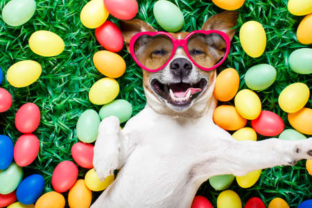 Photo for funny jack russell easter bunny  dog with eggs around on grass laughing taking a selfie with smartphone, wearing sunglasses - Royalty Free Image