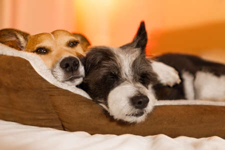 Photo pour couple of dogs in love close and cozy together sleeping and relaxinf on bed cuddeling in embrace ( low light photo) - image libre de droit