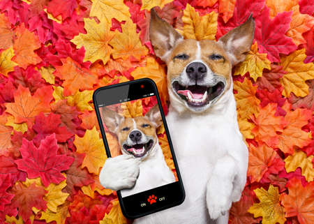 Photo pour jack russell dog , lying on the ground full of fall autumn leaves, lying on the back torso and taking  a selfie with smartphone mobile phone - image libre de droit