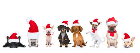 Foto de christmas  santa claus row of dogs isolated on white background,  with   funny  red holidays hat - Imagen libre de derechos