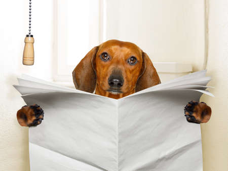 Foto de funny   sausage dachshund dog sitting on toilet and reading magazine or newspaper with constipation, blank empty paper - Imagen libre de derechos