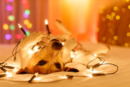 Photo pour jack russell dog resting and enjoying this christmas holidays with fancy fairy lights and looking cute at you ( low light photo) - image libre de droit