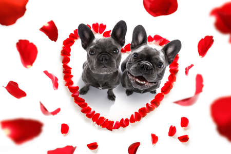 Foto de couple of french bulldog  dogs in love for happy valentines day with petals and rose flower , looking up in wide angle - Imagen libre de derechos