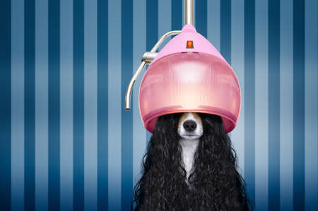 Foto de jack russell dog  at the hairdressers with long curly hair wig , in beauty salon - Imagen libre de derechos