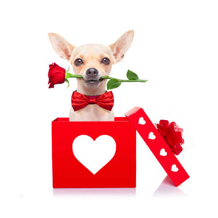 Photo pour chihuahua dog in love for happy valentines day with petals and rose flower in  mouth , isaolated on white background - image libre de droit