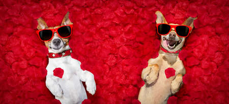 Foto de podenco dog resting in  a bed of rose petals for valentines day happy with funny red sunglasses - Imagen libre de derechos