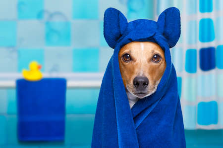 jack russell dog in a bathtub not so amused about that , with yellow plastic duck and towel,wearing bathrope or towel
