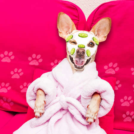 chihuahua dog relaxing with beauty mask in spa wellness center , moisturizing cream mask and cucumber, wearing a fancy bathrobe