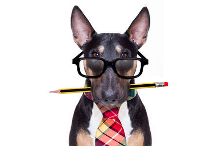 Foto de bull terrier dog tie going to work as office worker boss with nerd reading glasses , isolated on white background - Imagen libre de derechos