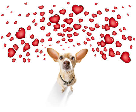 Foto de chihuahua dog  in love for valentines or birthday  , isolated on white background - Imagen libre de derechos