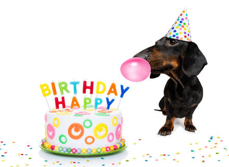 Photo pour Dachshund or sausage  dog  hungry for a happy birthday cake with candles - image libre de droit