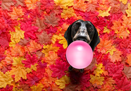 Foto per Hungry sausage dachshund dog with a big white bone waiting for owner to go for a walk in autumn fall with leaves - Immagine Royalty Free