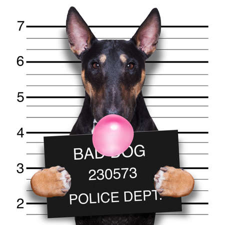 Photo pour criminal mugshot  of pitbull terrier  dog at police station holding placard with bubble chewing gum , isolated on background - image libre de droit