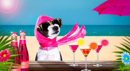Photo pour lady diva poodle dog with sunglasses in summer vacation holidays with cocktail drink or beverage at the beach bar club - image libre de droit
