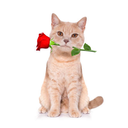 Photo pour cat kitten looking and staring at you in love with rose in mouth - image libre de droit