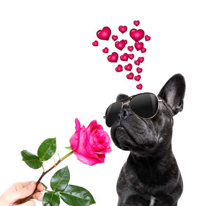 Photo for french bulldog dog on valentines love or mothers and fathers day with rose and petals - Royalty Free Image