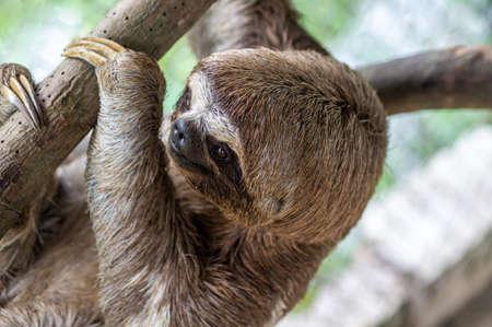 Foto de Brown-throated sloth, slow animal (Bradypus variegatus), animal face close up. Sloth hangs on a tree branch - Imagen libre de derechos