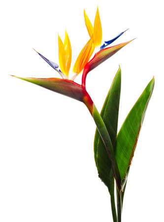 Foto de Bird of Paradise Flowers Isolated on a White Background  - Imagen libre de derechos